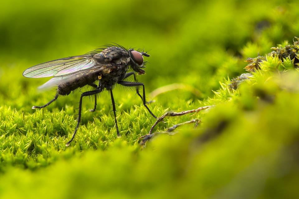 Blowfly adege