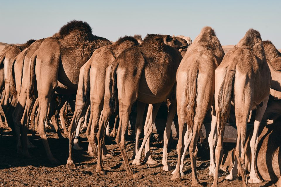 On the back of a camel