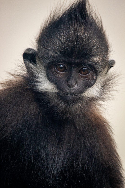 Portrait of a juvenile Francois Langur at the Memphis Zoo.